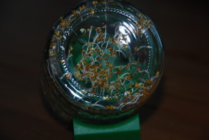 Alfalfa nach wenigen Tagen